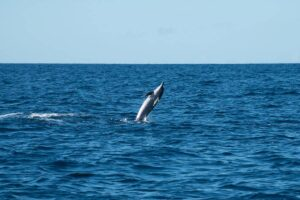 Māui dolphins - are drones a solution to their possible extinction